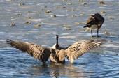 Canada Goose Encountering Nasty Ice Flow — Stock Photo