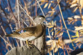 Female Wood Duck Perched on a Rock — Stock Photo