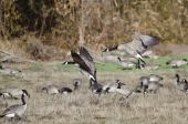 Canada Geese Landing in an Autumn Field — Stock Photo