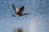 Canada Goose Flying Over the Lake — Стоковое фото
