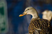Profile of a Female Mallard Duck — Stock Photo