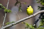 Male Goldfinch Perched in a Tree — Stock Photo