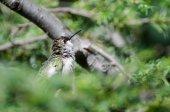 Ruffled Hummingbird Looking For Trouble — Stock Photo