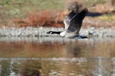 Canada Goose Flying Over the Lake — Stock fotografie