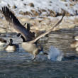 Canada Goose Taking Off From a Winter River — Stock Photo #62091927