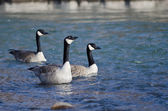 Three Canada Geese Swimming in the Blue Water — Stock Photo