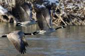 Canada Geese Flying Over a Winter River — Photo