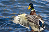 Mallard Duck on the Water with Outstretched Wings — Stock Photo