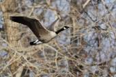 Canada Goose Flying Over a River — Stock Photo