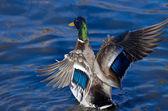 Anatra del germano reale sull'acqua con le ali spiegate — Foto Stock