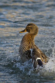 Mallard Duck Playfully Splashing on the Water — Stock Photo