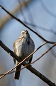 Song Sparrow Perched on a Branch in a Tree — Stock Photo