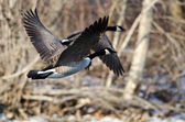 Canada Geese Flying Over a Winter River — Stock Photo
