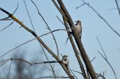 Pair of Northern Flickers Perched in a Tree — Stock Photo