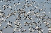 Massive Flock of Snow Geese Flying Over the Marsh — Stock Photo