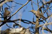 Two Northern Flickers Perched on a Branch in a Tree — Fotografia Stock