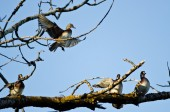 Female Wood Duck Joining the Party on the Tree Limb — Stock Photo