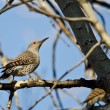 Northern Flicker Perched on a Branch in a Tree — Stock Photo #70922111