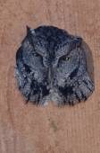 Western Screech-Owl Peering Out From Within a Nesting Box — Stock Photo