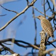 Northern Flicker Perched on a Branch in a Tree — Stock Photo #71206971
