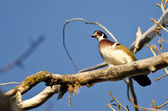 Male Wood Duck Perched in a Tree — Stock Photo