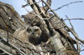 Young Owlet Making Eye Contact While Being Groomed by Mom — Stock Photo
