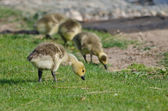 Adorable Little Gosling Looking for Food in the Green Grass — Stock Photo