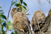 Young Owlet High In Its Nest Looking Across The Tree Tops — Stock Photo