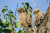 Two Young Owlets Making Direct Eye Contact From Their Nest — Stock Photo