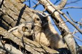Two Adorable Young Owlets Perched in a Tree — Stock Photo