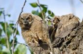 Young Owlet Peering in the Distance with Claw Extended — Stock Photo