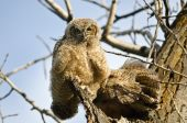 Young Owlet Making Direct Eye Contact From Its Nest — Stock Photo
