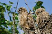 Two Young Owlets Resting In Their Nest — Stock Photo