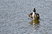 Hooded Merganser Floating with Outstretched Wings — Stock Photo