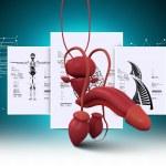 Постер, плакат: Human penis anatomy