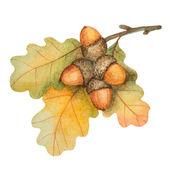 Watercolor oak branch with acorns — Stock Vector