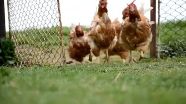 Hens are runnig to coop chicken — Stock Video