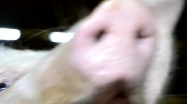 Grunting pig in the shed — Stock Video