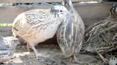 Quails fleeing the shed on a farm — Stock Video