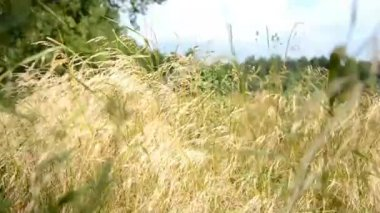 The wind blows the grass in a meadow — Stok video