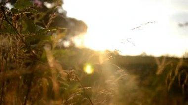 Gras des feldes bei sonnenaufgang auf einer wiese nahe dem wald — Stockvideo