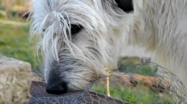 Dog Irish Wolfhound gnaw bones — Stock Video