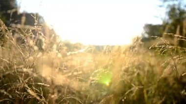 Grass of the field at sunrise in a meadow near the forest — Stock Video
