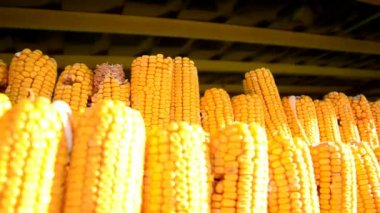 Dried corn cobs hanging on the string in the shed — Stockvideo