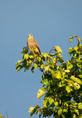 Kestrel Perched on a High Tree — Stock Photo