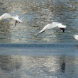 Seagulls On Frozen Lake — Stock Photo #61497805