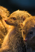 Group Of Juvenile Mongooses — Stock Photo