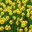 Daffodils In Sunlight — Stock Photo #71353935