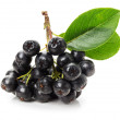 Branch of black chokeberry (Aronia melanocarpa) isolated on the — Stock Photo #51821705