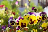 Three-colored violet on the flowerbed — Stock Photo